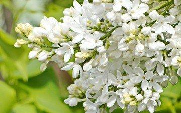 природа, цветение, фон, весна, белая, сирень