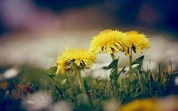 цветы, трава, весна, одуванчики, желтые