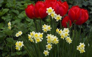 цветы, весна, тюльпаны, клумба, нарцисы