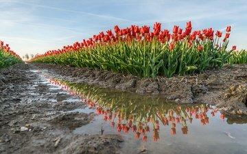 цветы, вода, земля, отражение, весна, тюльпаны