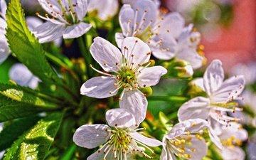 branch, flowering, macro, flower, cherry, spring