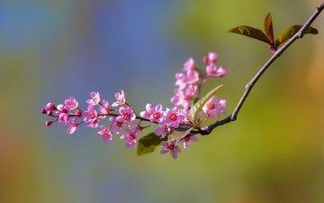 ветка, цветение, макро, фон, весна