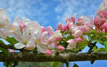 ветка, цветение, макро, весна, яблоня, цветки, бутончики