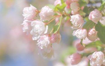ветка, цветение, макро, весна, цветки, бутончики, paula w