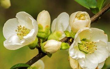 ветка, природа, цветение, макро, фон, весна