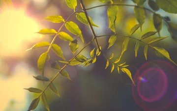 branch, nature, tree, leaves, background, rays of light