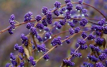 branch, nature, macro, background, drops, drop, berry, rain, branch.berries