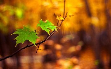 branch, nature, leaves, macro, background, blur, maple