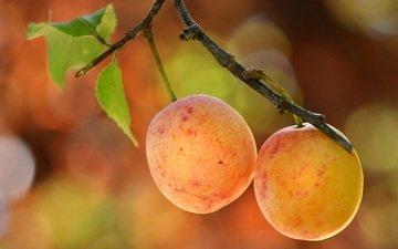 ветка, листья, макро, фрукты, слива