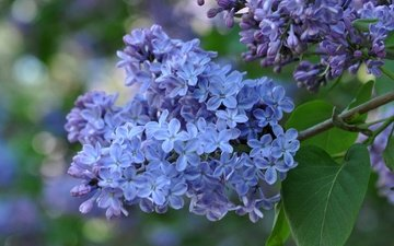 branch, flowering, macro, spring, lilac, inflorescence