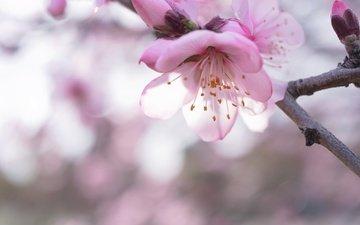 ветка, цветение, макро, весна, сакура