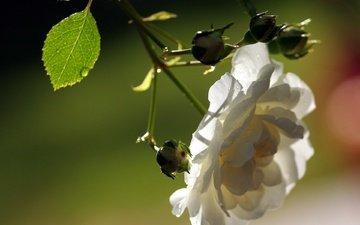 ветка, цветок, лепестки, белый, размытость, шиповник