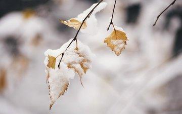ветка, снег, природа, листья, зима, фон