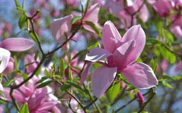 flowering, branches, spring, pink, magnolia