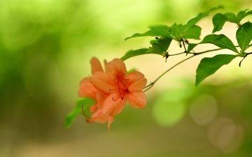 цветы, природа, фон, веточка, боке, азалия
