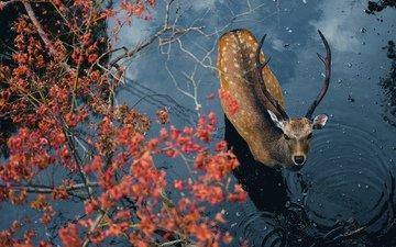 вода, олень, взгляд, животное, рога