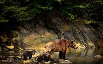 вода, природа, камни, животные, ветки, медведи, детеныши, медведица, медвежата