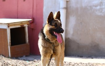 look, dog, language, german shepherd, shepherd