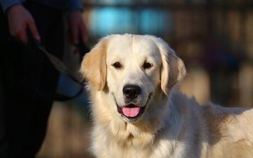 eyes, face, look, language, retriever, golden retriever