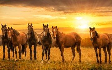 закат, луг, лошади, кони