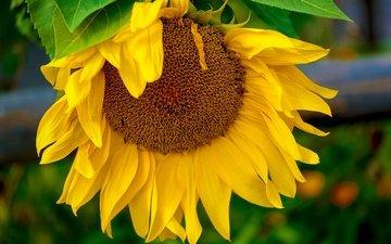 желтый, макро, цветок, подсолнух