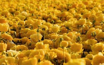 цветы, желтый, ранункулюс, лютик