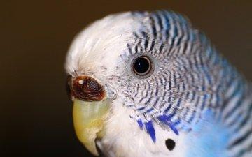 птица, животное, глаз, попугай, волнистый попугай
