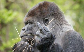 профиль, знак, обезьяна, жест, горилла