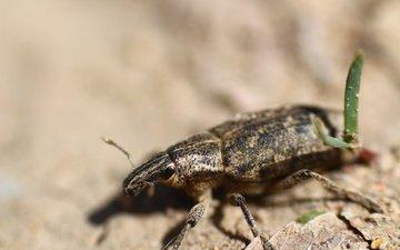 жук, насекомое, травка, лапки, долгоносик