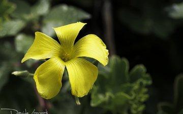 природа, листья, фон, цветок, лепестки, желтые, кислица, davide lopresti