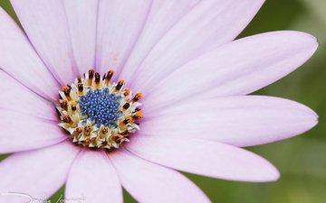 макро, цветок, лепестки, остеоспермум, davide lopresti