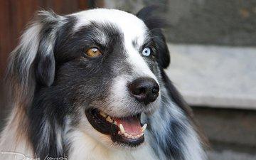 глаза, морда, взгляд, собака, австралийская овчарка, аусси, davide lopresti