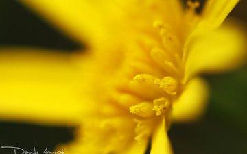 желтый, макро, цветок, лепестки, тычинки, davide lopresti