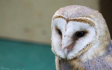 глаза, сова, взгляд, птица, клюв, сипуха, davide lopresti