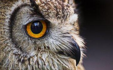 глаза, сова, взгляд, птица, клюв, ушастая сова, davide lopresti