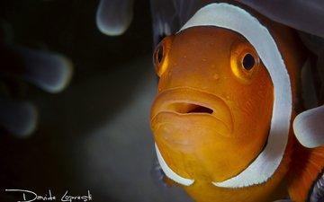 рыба, подводный мир, рыба-клоун, актиния, davide lopresti