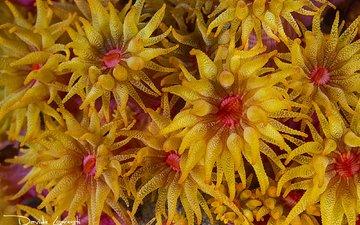 кораллы, подводный мир, актинии, davide lopresti, морские анемоны, полипы