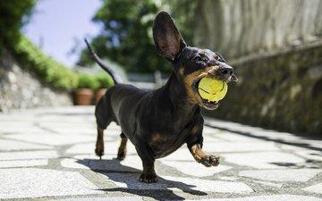 dog, the game, dachshund, running, the ball, davide lopresti