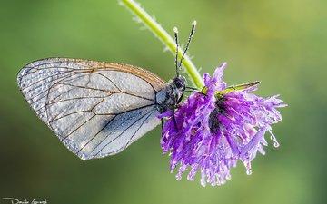 клевер, насекомое, цветок, капли, бабочка, davide lopresti, боярышница