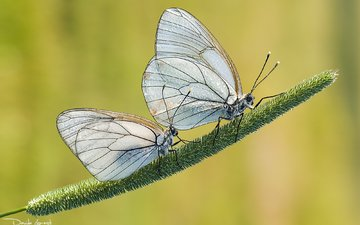 grass, nature, background, insects, pair, butterfly, davide lopresti, the aporia crataegi