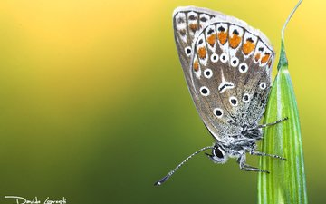 природа, растения, насекомое, фон, бабочка, davide lopresti