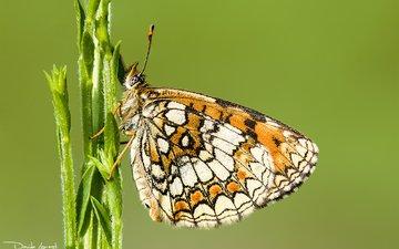 природа, растения, насекомое, фон, бабочка, стебель, davide lopresti, шашечница