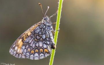природа, насекомое, фон, бабочка, стебель, davide lopresti, шашечница