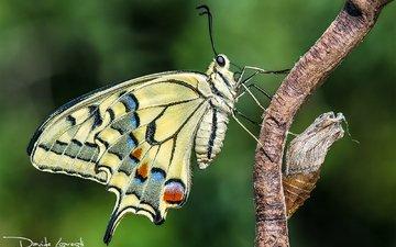 природа, фон, бабочка, насекомые, куколка, davide lopresti, махаон