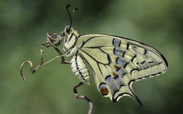 природа, насекомое, фон, бабочка, davide lopresti, махаон