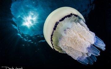 море, океан, медуза, подводный мир, davide lopresti