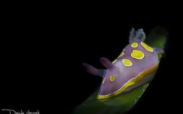 фиолетовый, темный фон, моллюск, подводный мир, davide lopresti, голожаберное