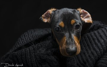 глаза, мордочка, взгляд, собака, такса, davide lopresti