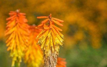 цветы, природа, растения, фон, соцветия, книпхофия