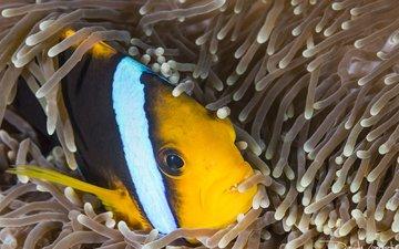 море, океан, рыба, подводный мир, рыба-клоун, актиния, davide lopresti